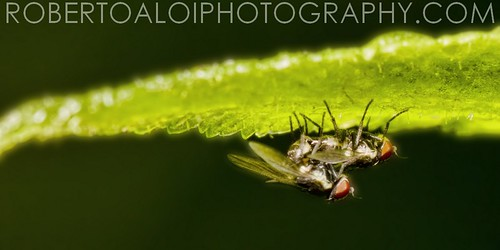 Flies Mating by Roberto_Aloi
