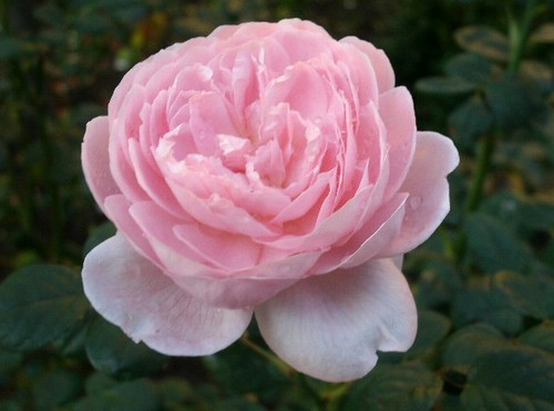Rosa Rose 1