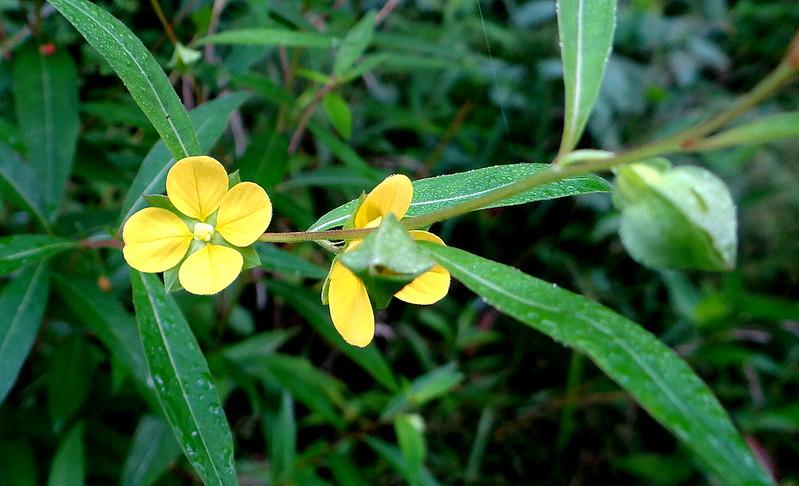DSC03666 yellow wldflwr  busch 200713