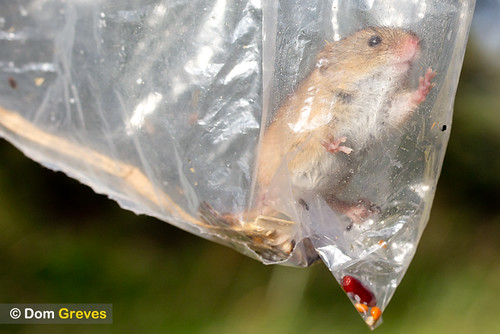 Harvest mouse in bag
