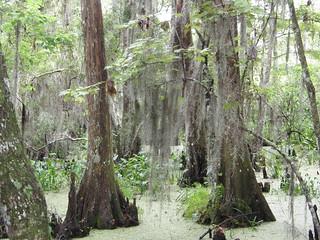 Bases de Taxodium distichum