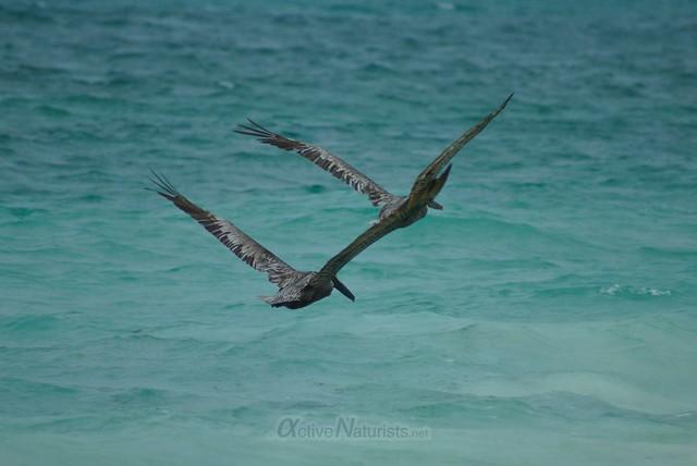 pelican 0002 Sian Kaan beach, Quintana Roo, Mexico