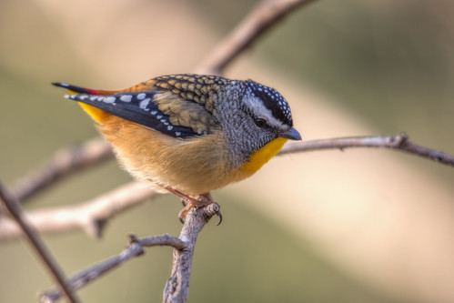 Spotted Pardalote OMG 2013-06-29 (_MG_1350)
