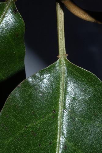 Croton insularis DSC_0027