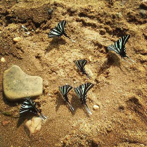 Zebra butterflies on Chesapeake Bay beach...thry love this park.