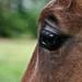 Horse Eyeball