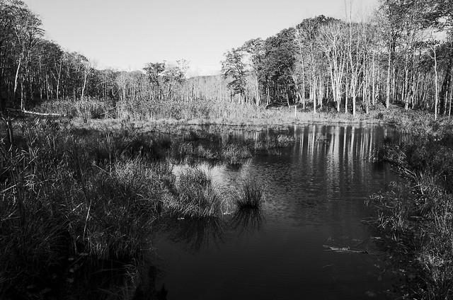 High contrast Pine Swamp