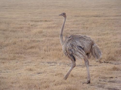 DSC05270 ostrich