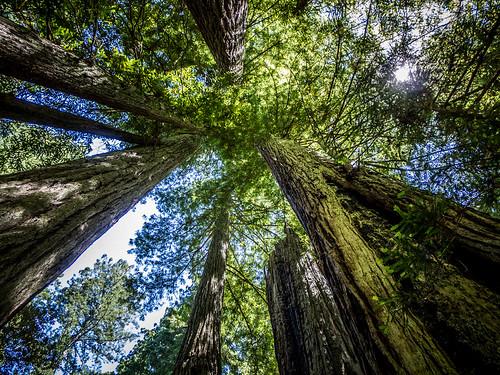 Redwoods and Elk-085