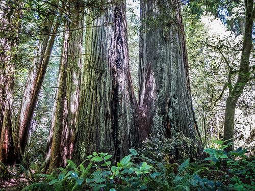 Redwoods and Elk-083