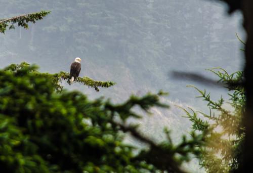 Bald Eagle at North Head