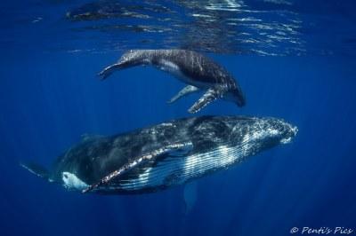 Humpback whales - Reunion Island