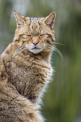 Sleepy wild cat
