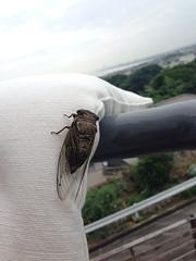 蝉が姿をあらわした