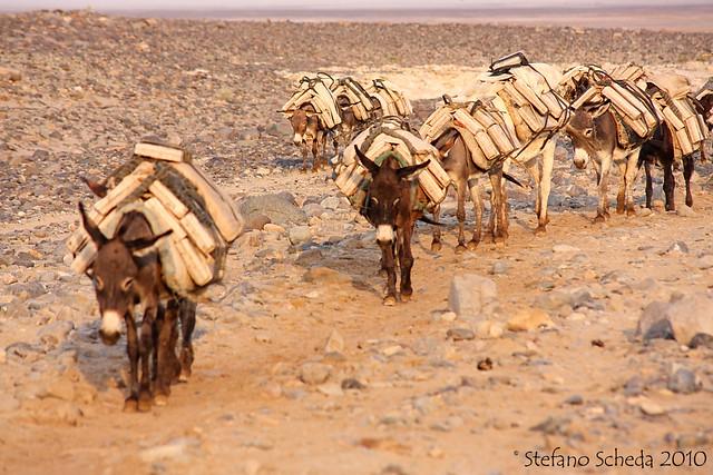 Donkeys on a salt caravan - Ahmed Ela, Ethiopian Danakil