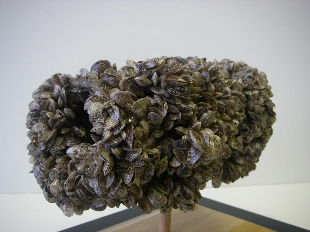 Aquatic Invasive Species Quagga Mussels
