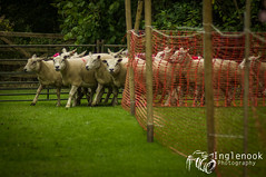 Roughlee Sheep Race