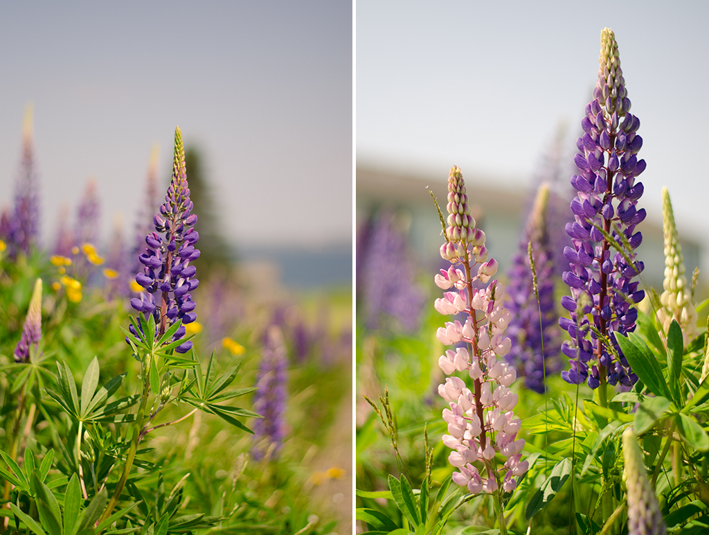 lupine collage