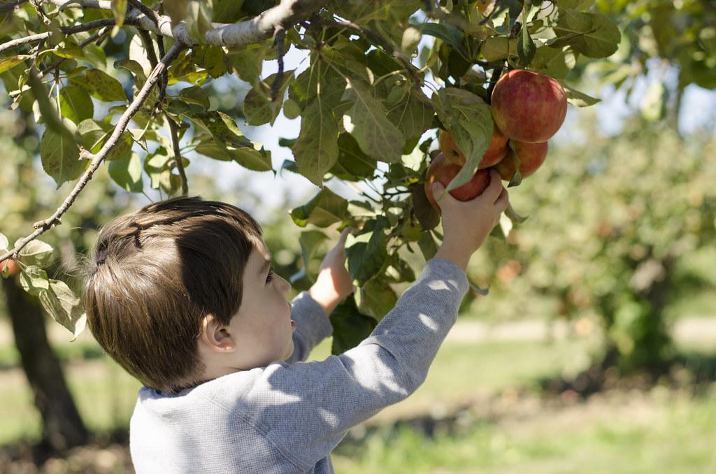 short story // apple picking 4