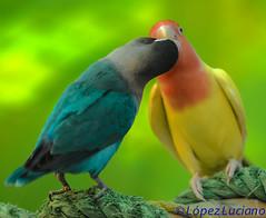 Inseparable De Color Azul Y De Color Amarillo