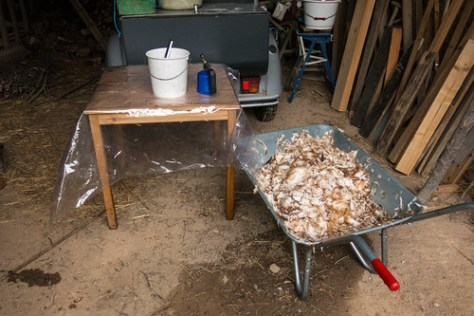 Remains after chicken plucking
