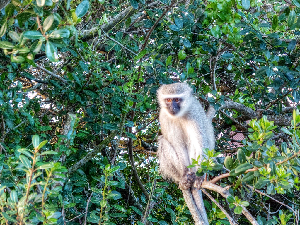Vervet monkey on Cape Recife