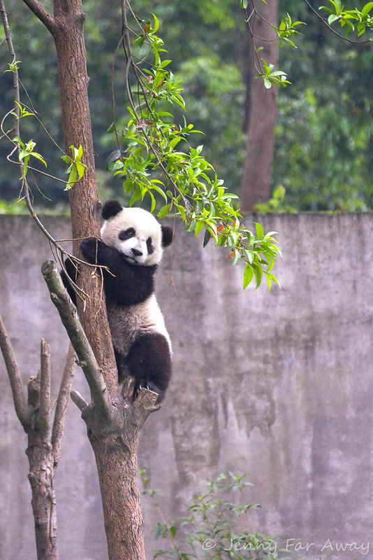 Panda cub climbing down for feeding time