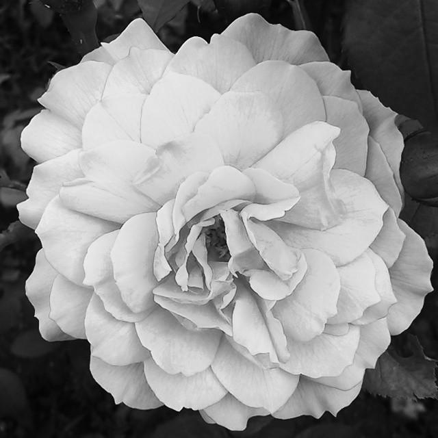 Roses (1/2)