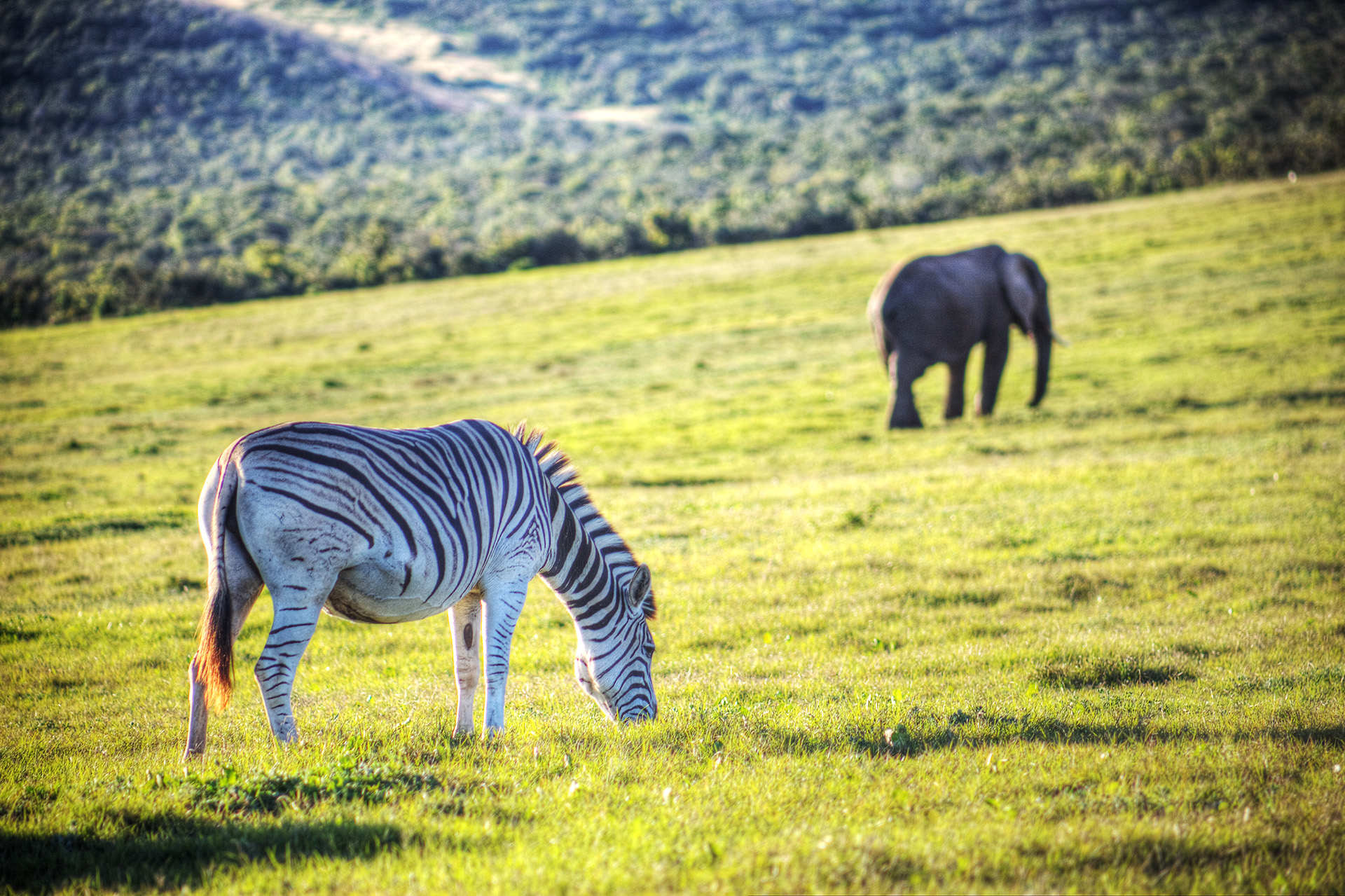 A zebra and elephant sharing the grasslands.