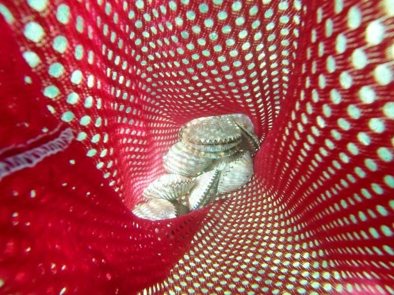 Bag of Scallops, Homosassa, Fla., Sept. 10, 2014
