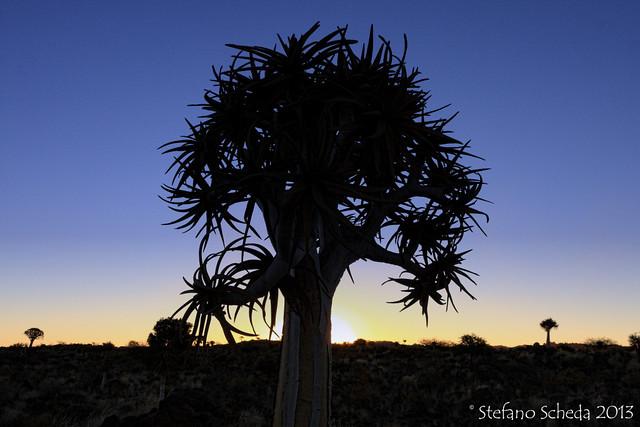 Aloe dichotoma - Quiver Tree Forest,  Keetmanshoop, Namibia