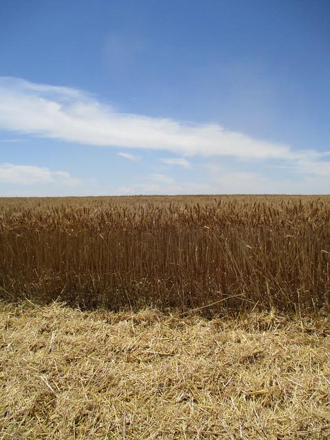 Nice wheat 70 bushels per acre wheat