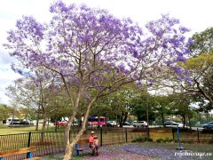 under jacaranda tree