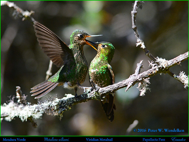 VIRIDIAN METALTAIL Metallura williami. Mother Feeding Fledged Juvenile at the Papallacta Pass in ECUADOR. Photo by Peter Wendelken.