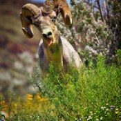 Blooms and Bighorn