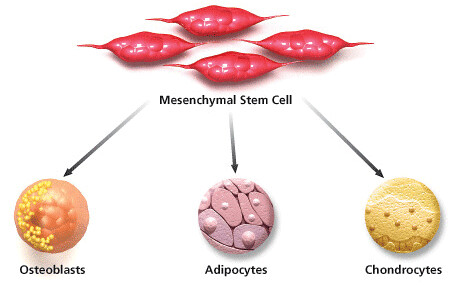mesenchymal-stem-cells