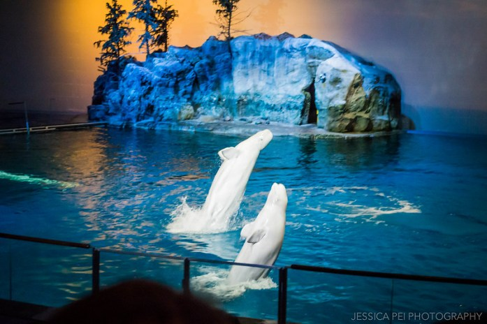 Jumping Beluga Whales in Chicago Shedd Aquarium Show