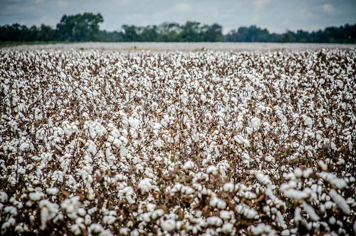 Bishopville Cotton Field