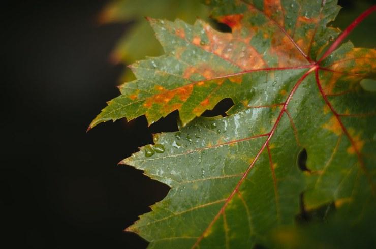 Leaf losing its Green