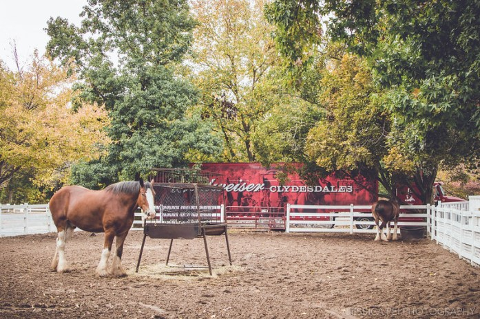 Clydesdales Outdoors