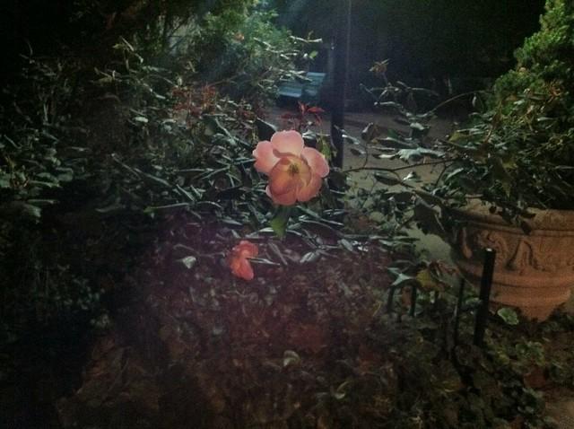 Night time rose