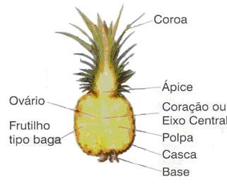 Abacaxi botânica