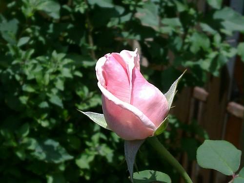 A rose in our garden