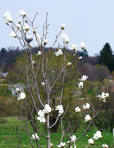 magnoliawhole4