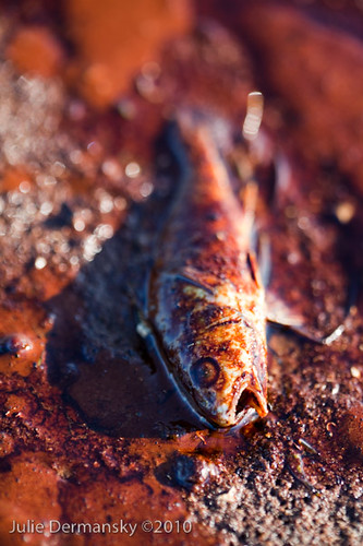 Dead fish on Grand Isle by jsdart.