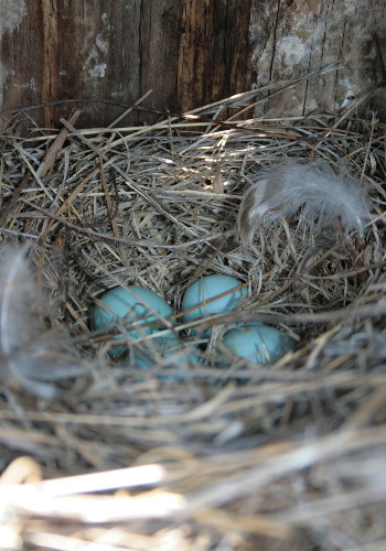 Bluebird eggs in nest
