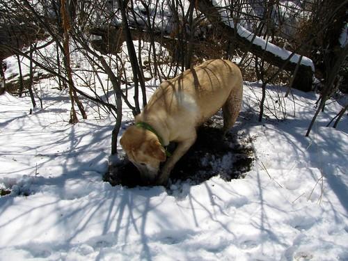 Sadie digging