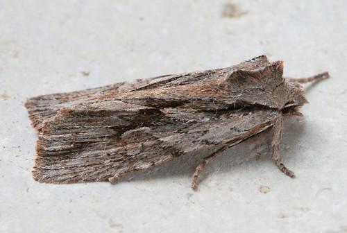 9899.1 - Lithophane thujae - Cedar Pinion