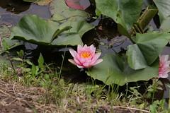 四季の森公園のヒツジグサ(Water lily at Shikinomori Park, Japan)