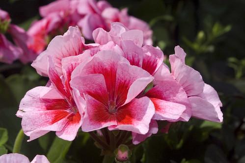 Pelargonium Americana® Pink Mega Splash